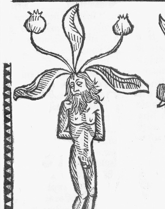 "Alraune - Männlein aus dem ""Hortus sanitatis"", Mainz (1491)"